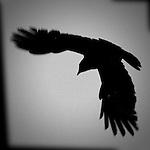 Crow flying.