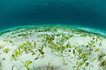 Oval seagrass (Halophila ovalis) dugong food