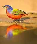 Painted Bunting male at waterhole