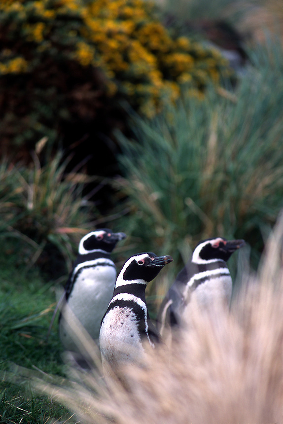 Magellanic penguins peer from the shrubs at a rookery on the Falkland Islands.