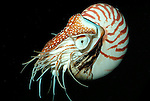 Nautilus, deep sea cephalopod, large heavy shell with internal series of sealed chambers, gas filled for buoyancy, found 500m deep (c) ....