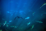 "Kolt Johnson freedives within a school of amberjack, swimming in the waters off the coast of North Carolina.  Many believe spearfishing to be the most sustainable form of fishing, since there is no blind-casting of lines or nets. The hunter sees exactly what they are fishing for, and thus there is no wasteful by-catch of unwanted creatures. ""Blood in the Water - Schooling""."