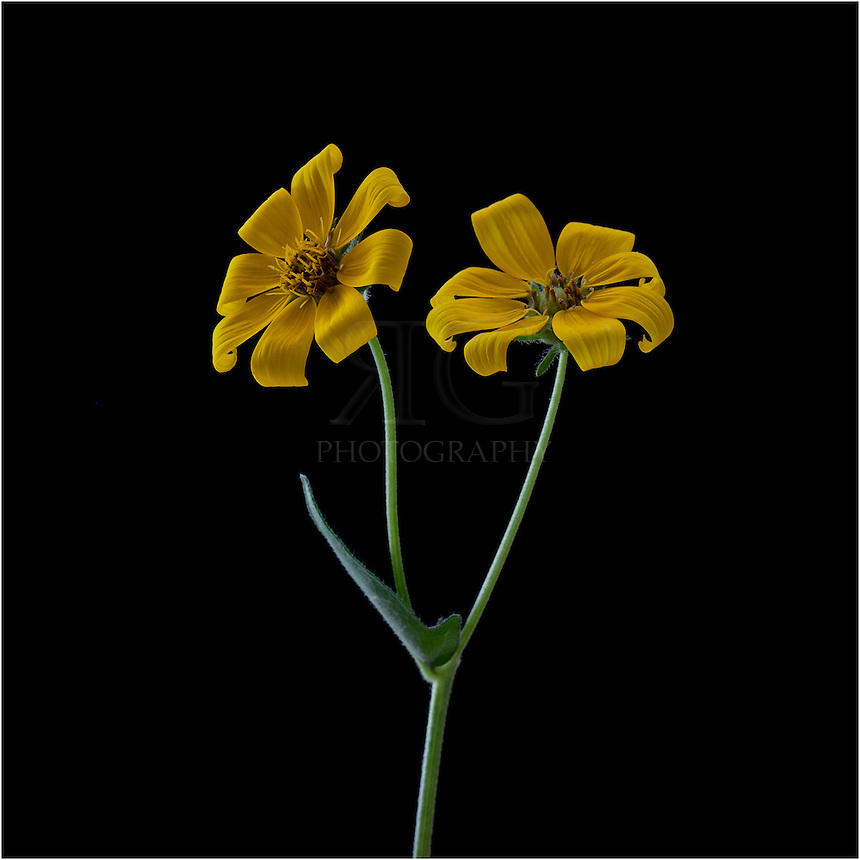 Goldeneye is a yellow Texas Wildflower is a very drought resistant plant that often grows in colonies. It can grow up to 6 feet tall. These colorful Texas Wildflowers usually bloom in October and November.