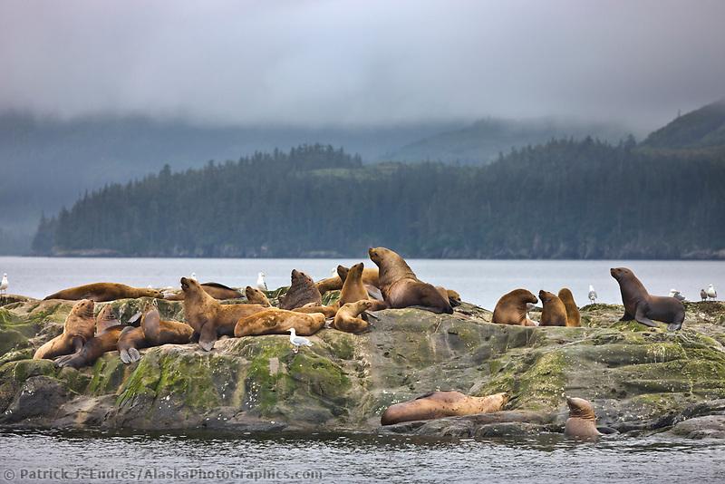 Steller sea lions, Prince William Sound, Alaska.