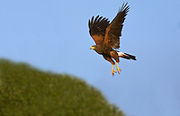 541950090 a wild harris hawk parabuteo unicinctus flies over a group of trees in the rio grande valley of south texas