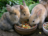 Zwergkaninchen, Zwerg-Kaninchen, einige Wochen alte Jungtiere fressen Kaninchenfutter, dwarf rabbit