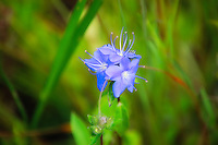 Skyflowers found growing in standing water in CREW Marsh Hiking Trails in Collier County, Florida.