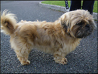 BNPS.co.uk (01202 558833)Pic: RSPCA/BNPS<br /> <br /> Happy again - Happy the Shih-tzu after being rescued from vet Kerstin Vockert by the RSPCA and restored to full health.