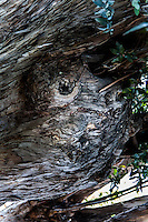 "Knots in the trunk of this large tree appear to be two eyes and a mouth, puckered in a permanent whistle.  Or maybe it's just saying, ""Oh!"""