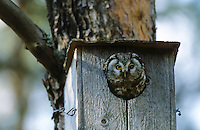 Raufusskauz, Raufußkauz, Rauhfusskauz, Rauhfußkauz, Altvogel guckt aus Nistkasten heraus, Raufuss-Kauz, Raufuß-Kauz, Kauz, Käuzchen, Aegolius funereus, Tengmalm's owl, boreal owl