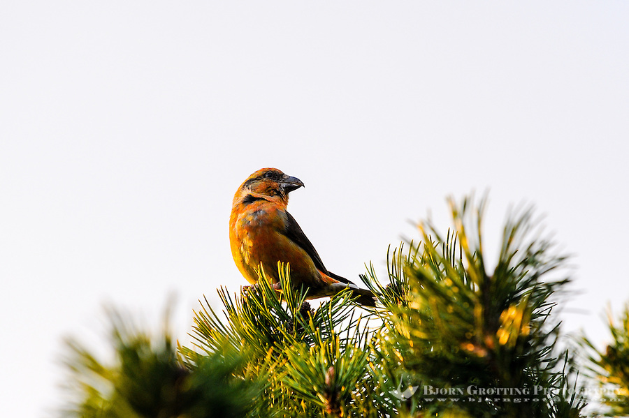 Norway, Stavanger. Common crossbill.