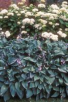Hosta fortunei var. hyacinthina in flower (aka Hosta fortunei 'Hyacintha' aka H. Hyacintha Variegata' aka Crown Imperial) perennial blue foliage leaves plant