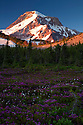 OR01682-00...OREGON - Sunrise on Mount Hood from a heather covered meadow in the Wy'east Basin of the Mount Hood Wilderness area.