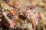 Anda, Bohol, Philippines; a tiny tiger shrimp: Palaemon pacificus, on the coral reef
