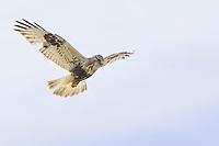 Rough-legged Hawk soaring over a field