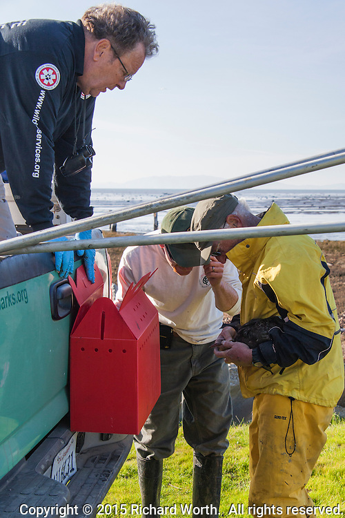The three members of a bird rescue team examine a coated Surf scoter that has just been rescued.