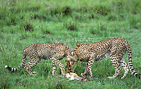 615004082 highly endangered wild cheetahs acinonyx jubatus mother and cub feeding on a thompsons gazelle kill in masai mara reserve kenya