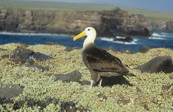 Waved Albatross ,Diomedea irrorata,, an endemic species to the Galapagos Islands, Ecuador.