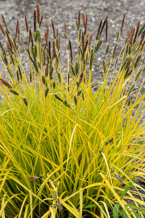 Carex elata 'Aurea' (syn. Carex elata 'Bowles's Golden' , Carex riparia 'Bowles's Golden'), early May. An evergreen perennial grass or sedge forming a compact clump of upright or arching, narrow, bright yellow, golden leaves. Commonly known as Bowles' golden sedge.