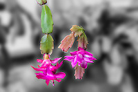 Left:  Christmas cactus, Schlumbergera, bridgesii blooms in December and has rounded leaf-like stem segments.  Right:  Thanksgiving cactus, Schlumbergera truncata, blooms mid to late November and its stem segments have teeth.  T - 'truncata', Thanksgiving, teeth.