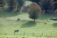 Cows are pictured in a pasture in the Schoharie Valley, NY, Sunday September 15, 2013.