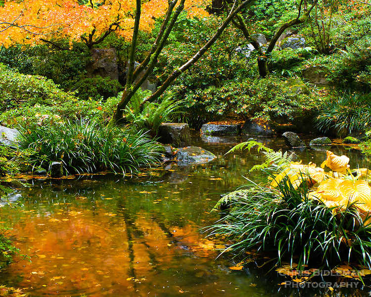 Fall colors of the leaves of Japanese Maples and bushes is seen in a pond reflecting the color and trees in the Natural Garden as rain is starting to fall in the Portland Japanese Garden
