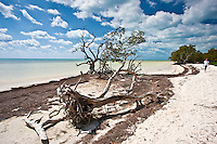 Man strolling along white sand beach by fallen tree, Islamorada, Florida Keys, United States of America