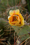 Prickly pear cactus in bloom in the spring at Big Bend National Park Texas