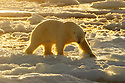 Polar bear (Ursus maritimus) in arctic ice landscape with midnight sun, Nordaustlandet, Svalbard