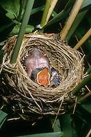 Kuckuck, bettelndes, sperrendes Küken im Nest eines Teichrohrsänger, Brutparasitismus, Cucullus canorus, cuckoo