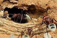 Dune Ant (Camponotus detritus) nests are simple structures excavated among the roots of perennial vegetation in the sand dunes of the Namib Desert, Namibia. They comprise a series of tunnels and chambers 100-400 mm deep, often lined with detritus. No royal chamber or food stores were found. Nest temperatures varied considerably. The number of workers per nest varied from 218-16,000 with a mean and standard error of 3404&plusmn;570. Each colony comprised one to four nests with only one nest per colony housing queens. Colony expansion and nest relocation occurs frequently.