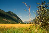 Field of Oats on Farm, Pemberton Valley near Whistler, BC, British Columbia, Canada - Southwestern BC Region, Coast Mountains