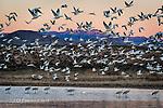 Morning Flight at Bosque Del Apache, New Mexico