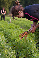 Carrot harvest at Thorpe's Organic Farm
