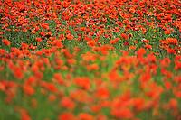 Poppy fields, Papaver sp, Lake Kerkini, Macedonia, Greece