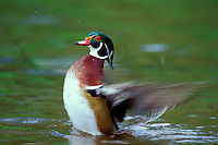 Wood Duck drake (Aix sponsa) drying wings, Pacific Northwest, spring.