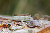 Sand lizard (Lacerta agilis) juvenile sitting on a felled Birch, against heath background. Conservation of the endangered species may mean creating or managing the habitat, which may also mean the exclusion or inclusion of certain other vegetation, plants or animals. In this case the Birch has been removed to allow sunlight to reach the ground. The Sand Lizard is strictly protected by British and European law which makes it an offence to Injure, Kill, Capture, Disturb, Destroy their habitat, or trade in them in any form.