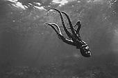Octopus at Kealakekua Bay