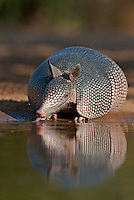 605500031 a wild nine-banded armadillo dasypus novemcinctus drinks water with its tongue out on beto gutierrez santa clara ranch hidalgo county lower rio grande valley texas united states