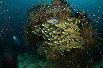 Schooling yellow-ribboned sweetlips (Plectorhinchus polytaenia) surrounded by glassy sweepers and diver. North Raja Ampat, West Papua, Indonesia