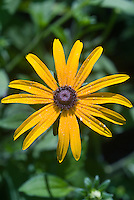 Rudbeckia fulgida 'Goldsturm' will come true from seed