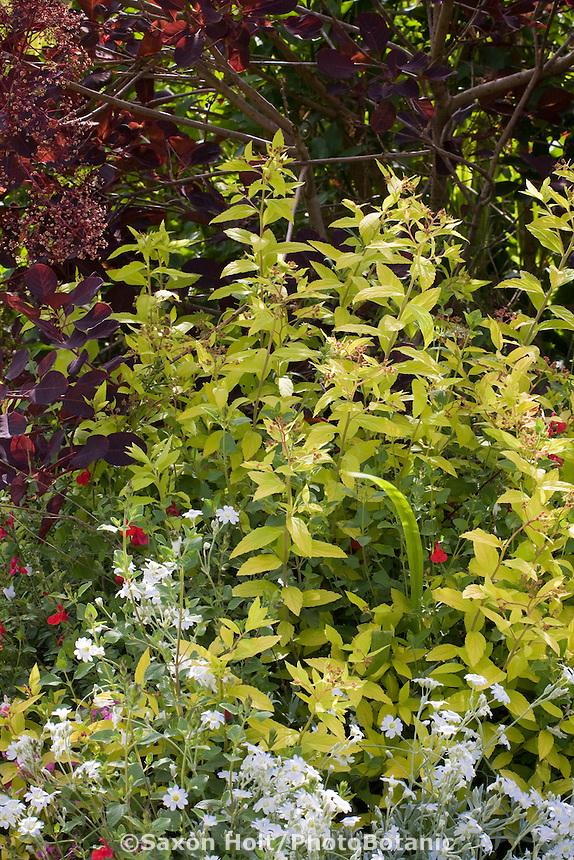 Yellow leaf foliage Spirea shrub, Spiraea japonica 'Limemound' with purple Cotinus in Maile Arnold garden