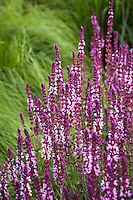 Meadow Sage, Salvia x sylvestris 'Amethyst' flowering perennial with other  sages and Autumn Moor Grass (Sesleria) in Lurie Garden at Millenium Park, Chicago