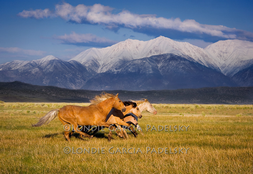 Wild Horses Running Photo Londie Garcia Padelsky Photography