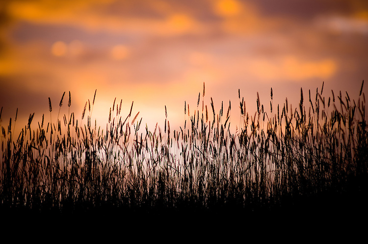 Long grass silhouette, New Zealand - stock photo, canvas, fine art print