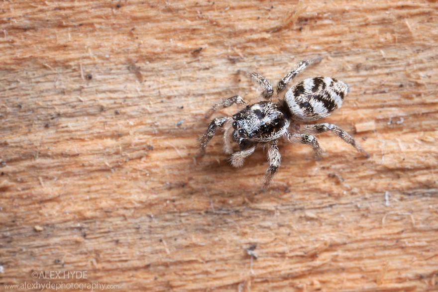 Zebra spider {Salticus scenicus} female stalking prey on fence panel. Peak District National Park, Derbyshire, UK. September.