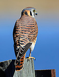 American Kestrel female, Bosque del Apache National Wildlife Refuge, New Mexico