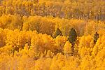 Aspen grove, Eastern Sierra, California.