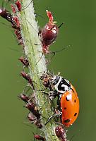 Seven-spotted Ladybug (Coccinella septempunctata), adult eating Aphids (Aphidoidea),  Laredo, Webb County, South Texas, USA