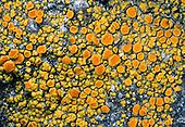 Waxy Firedot Lichen (Caloplaca bolacina), Santa Catalina Island, California, USA